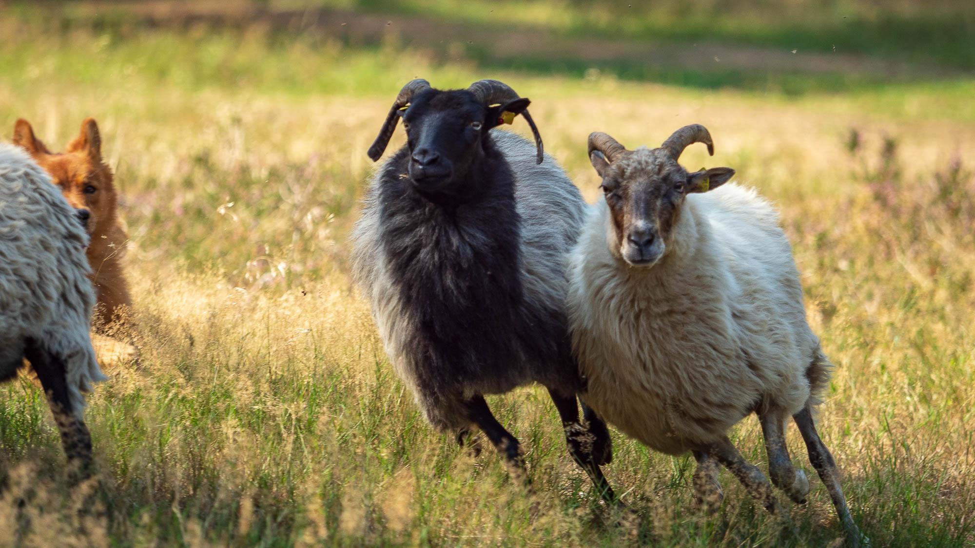babblfisch / Schafe in Action