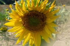 moni / Sunflower