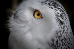 UnclePete / Auge in Auge mit der Schneeeule