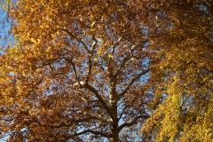 adidelaplaya / Herbstplatane