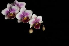 ruebyi / Orchidee