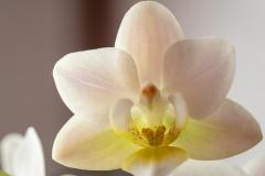 babblfisch / Orchideenblüte im Advent