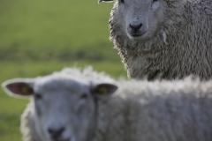 Schaf - Unschaf