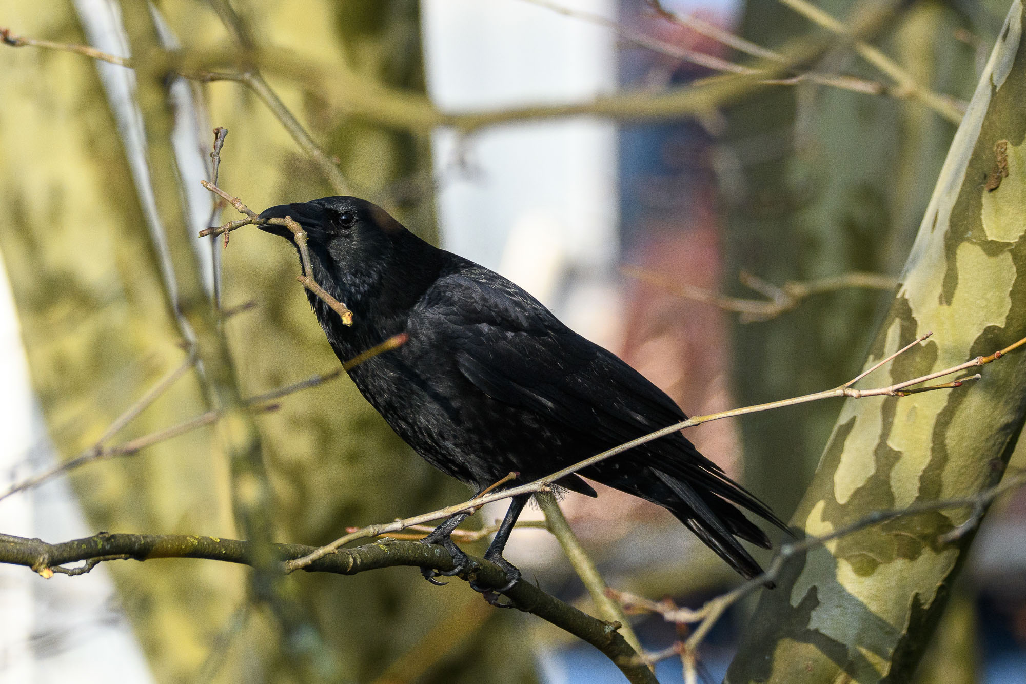Beginn der Nestbauperiode